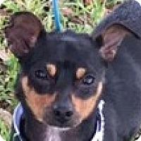 Adopt A Pet :: Maverick - Houston, TX