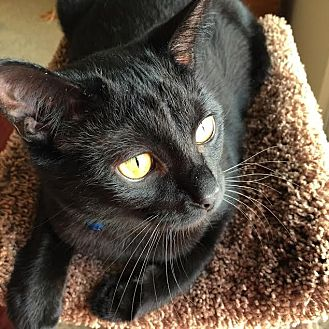 Domestic Shorthair Cat for adoption in Rochester Hills, Michigan - Muffin