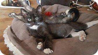 Domestic Mediumhair Kitten for adoption in Woodland Hills, California - Roscoe
