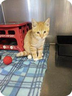 Domestic Shorthair Kitten for adoption in Sauk Rapids, Minnesota - Rhubarb