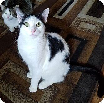Domestic Shorthair Kitten for adoption in Yorba Linda, California - Oreo