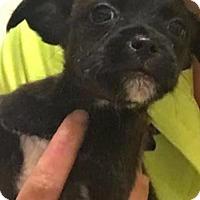 Adopt A Pet :: Glory - Spring, TX