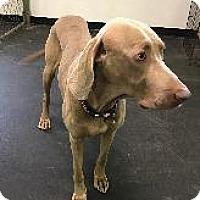 Adopt A Pet :: Major - Fayetteville, AR