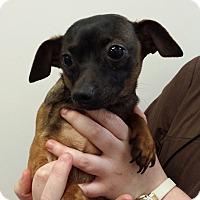 Adopt A Pet :: Gaelic - Westminster, CA