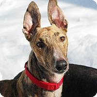 Adopt A Pet :: Shiver - Ware, MA