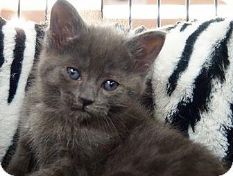 Domestic Shorthair Kitten for adoption in River Edge, New Jersey - Gandalf
