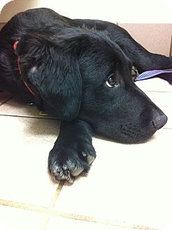 Flat-Coated Retriever/Retriever (Unknown Type) Mix Puppy for adoption in Plainfield, Connecticut - Boss