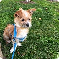 Adopt A Pet :: Scooter - West LA, CA
