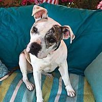 American Bulldog Mix Dog for adoption in Toluca Lake, California - Sheena