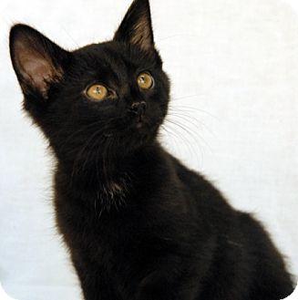 Domestic Shorthair Kitten for adoption in Newland, North Carolina - Cypress