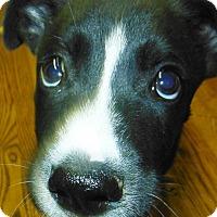 Adopt A Pet :: Johnny - Chapel Hill, NC