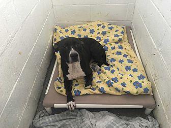 American Pit Bull Terrier/Labrador Retriever Mix Dog for adoption in Joliet, Illinois - Tyson