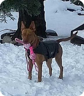 Pharaoh Hound Mix Dog for adoption in Livermore, California - Aspen