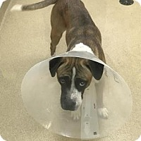 Adopt A Pet :: Adonis - Miami, FL
