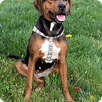 Adopt A Pet :: Peanut 35061932 - Westampton, NJ