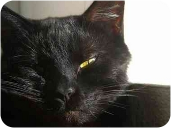Domestic Shorthair Cat for adoption in Boston, Massachusetts - Bailey