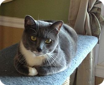 Domestic Shorthair Cat for adoption in Port Republic, Maryland - Starkey