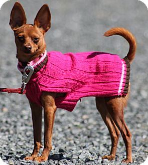 Miniature Pinscher/Chihuahua Mix Dog for adoption in Grants Pass, Oregon - Miss Goldie