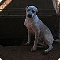 Terrier (Unknown Type, Medium)/Labrador Retriever Mix Puppy for adoption in Blanchard, Oklahoma - Jack