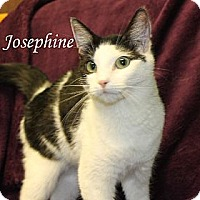 Domestic Shorthair Cat for adoption in Jackson, Mississippi - Josephine