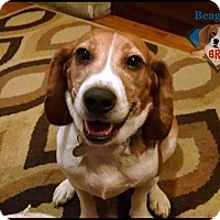Adopt A Pet :: Michelangelo (Mikey) - Yardley, PA