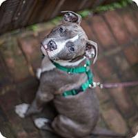 Adopt A Pet :: Louie - Reisterstown, MD