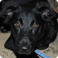 Collie/Retriever (Unknown Type) Mix Puppy for adoption in Salem, West Virginia - Renegade