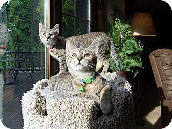 Domestic Shorthair Kitten for adoption in Manitowoc, Wisconsin - Honey