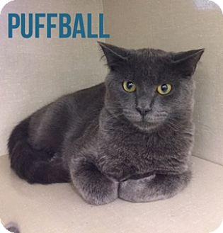 Russian Blue Kitten for adoption in Glendale, Arizona - PUFFBALL