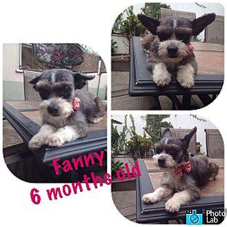 Schnauzer (Miniature) Mix Puppy for adoption in LAKEWOOD, California - Fanny