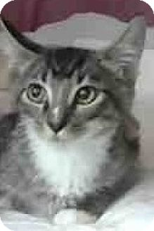 Domestic Mediumhair Kitten for adoption in Eureka, California - Matrix