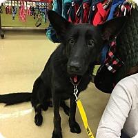 Adopt A Pet :: Lancelot (pending adoption) - Morrisville, NC