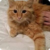Adopt A Pet :: Mufasa - San Tan Valley, AZ