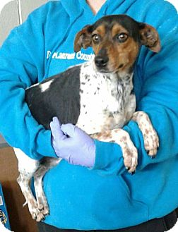 Jack Russell Terrier Mix Dog for adoption in Ozone Park, New York - Melania