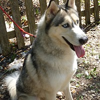 Siberian Husky Dog for adoption in Inverness, Florida - Sib#286