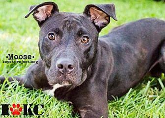 Pit Bull Terrier Mix Dog for adoption in Kansas City, Missouri - Moose