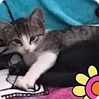 Adopt A Pet :: Aliya - Orange, CA