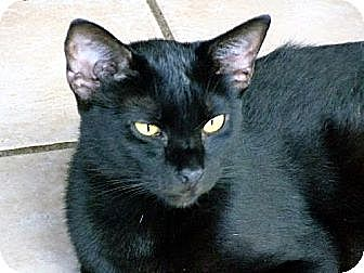 Domestic Shorthair Cat for adoption in Palm City, Florida - Tatum