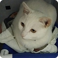 Adopt A Pet :: Cougar - Cody, WY