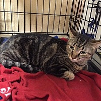 Domestic Shorthair Cat for adoption in Oviedo, Florida - Sierra