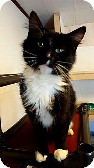 Manx Cat for adoption in Fairmont, West Virginia - PBJ
