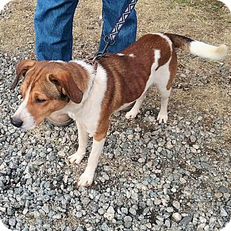 Hound (Unknown Type) Mix Dog for adoption in Fredericksburg, Virginia - Bailey