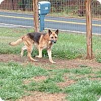 Adopt A Pet :: Calvin - Mocksville, NC