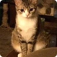 Adopt A Pet :: Sassy - Newtown, CT