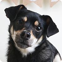 Adopt A Pet :: Kipper - Wilmington, DE