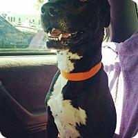 Adopt A Pet :: Sunny - Manhattan, KS