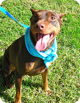 Miniature Pinscher Dog for adoption in El Cajon, California - Zeus