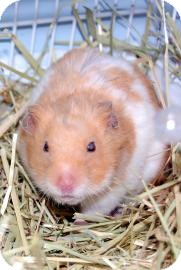 Hamster for adoption in Brooklyn, New York - Hamsters