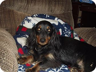 Dachshund Mix Dog for adoption in Alexandria, Virginia - Romeo