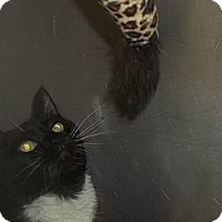 Adopt A Pet :: DECLAW CAT - Little Neck, NY